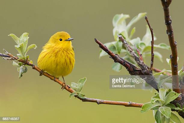 yellow warbler (dendroica petechia) perching on branch, seward peninsula, alaska, usa - yellow perch stock photos and pictures
