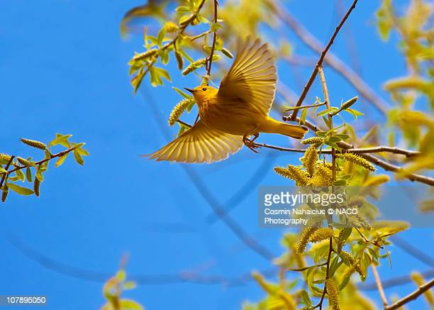 yellow warbler - warbler stock pictures, royalty-free photos & images