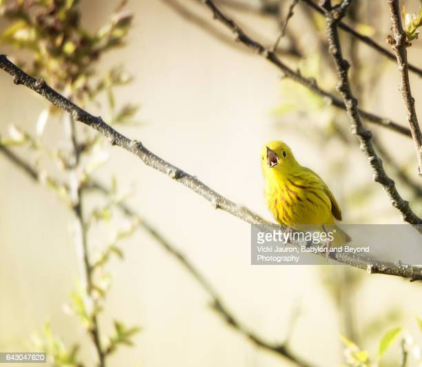 Yellow Warbler Singing Vigorously