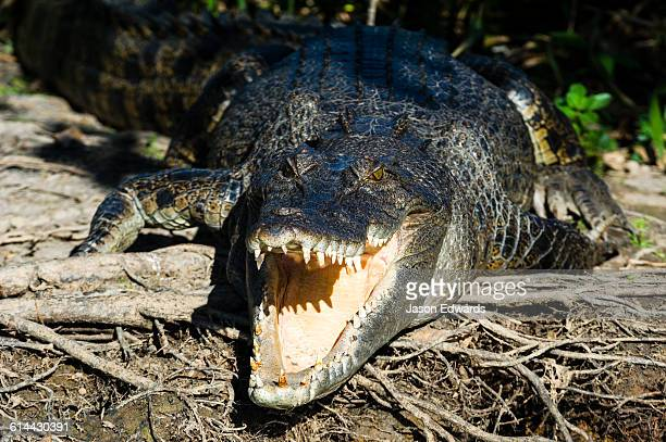 A Saltwater Crocodile sunbasking on the shores of a wetland with its powerful jaws open to thermoregulate its body temperature.