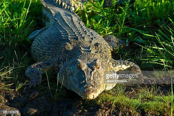 An enormous Saltwater Crocodile sun basking in the morning light.