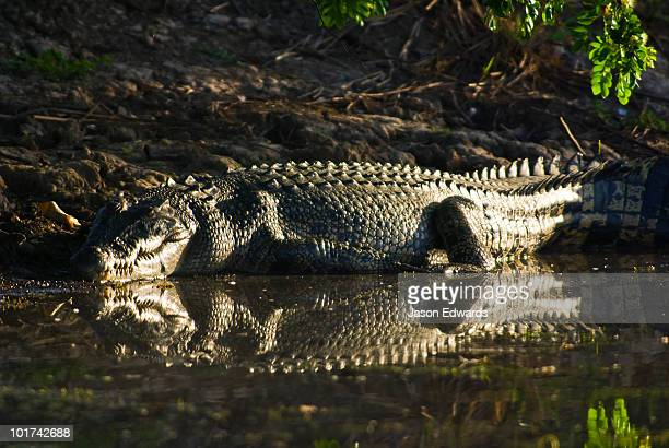 A Saltwater Crocodiles leathery scaled skin reflecting sunlight.