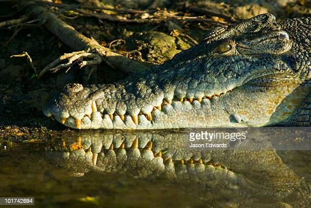 A sun basking Saltwater Crocodiles jaws and teeth reflected in a swamp