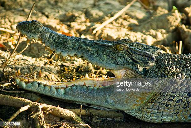 A sun basking Saltwater Crocodile opens its jaws to thermoregulate.