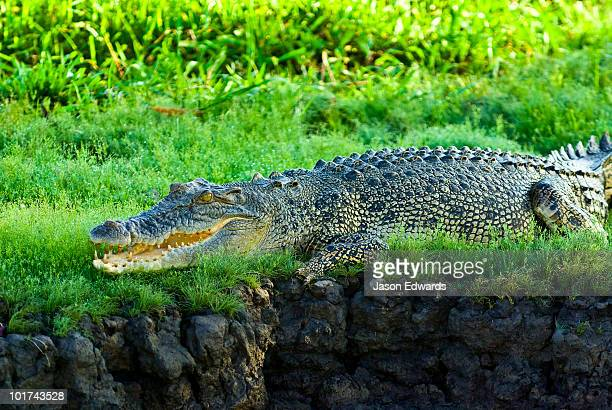 A Saltwater Crocodile sun basking on the lush shore of a swamp.