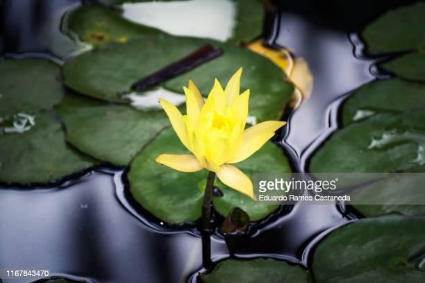 yellow water lily in a lake - aquatisches lebewesen stock-fotos und bilder