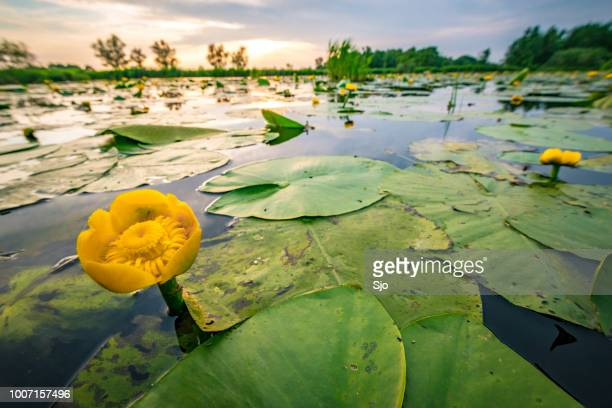 yellow water-lily or brandy-bottle in the weerribben-wieden nature reserve - overijssel stock pictures, royalty-free photos & images