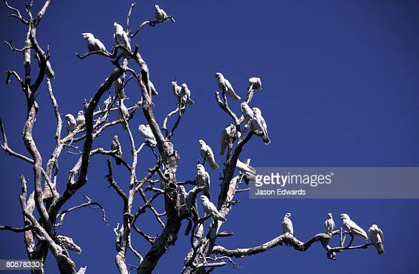A flock  of Little Corella roosting in a dead stag beneath a blue sky.