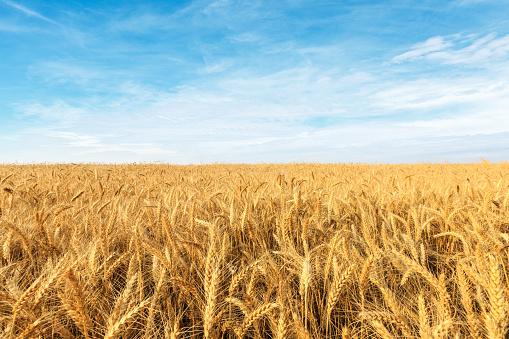 Yellow wheat field 1152174842
