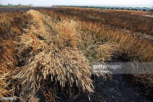 Yellow wheat fields are scorched black from fire damage on June 9, 2015 in Anyang, Henan province of China. Wheat fields caught fire in most parts of...