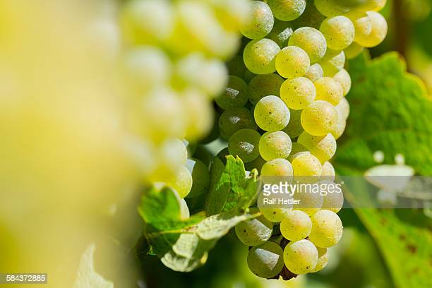 Yellow white grapes in vineyard