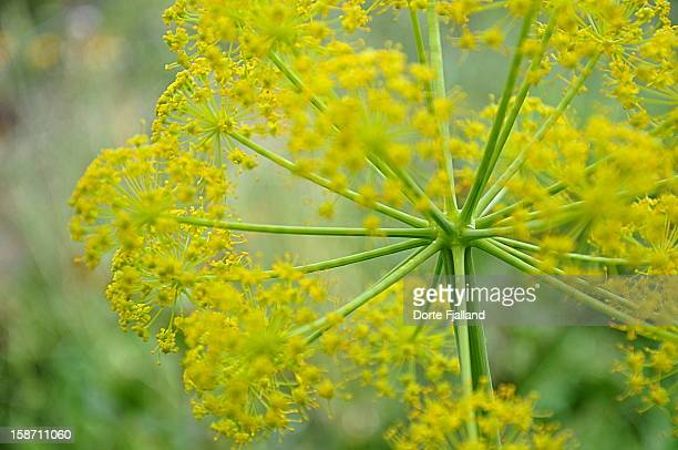 yellow wild flower - dorte fjalland stock pictures, royalty-free photos & images