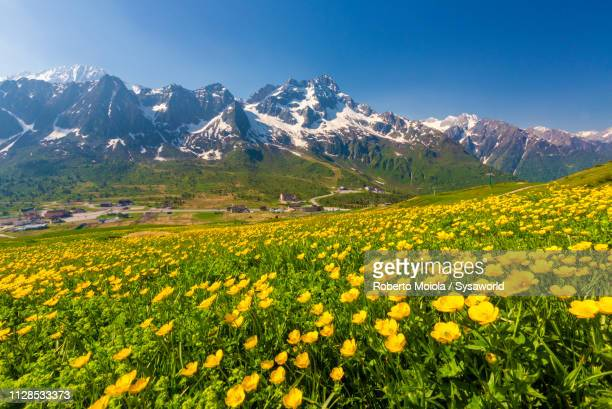 yellow wild flowers, tonale pass, lombardy, italy - european alps stock pictures, royalty-free photos & images