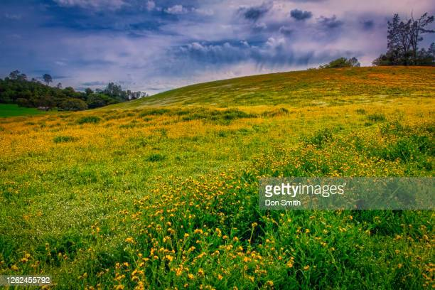 yellow wildflowers and poppies, california - don smith stock pictures, royalty-free photos & images