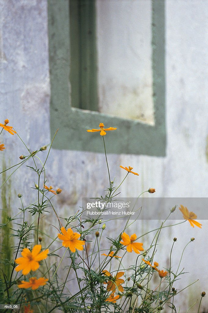 yellow wildflowers grow against a white stucco building close to a window in Europe : Foto de stock