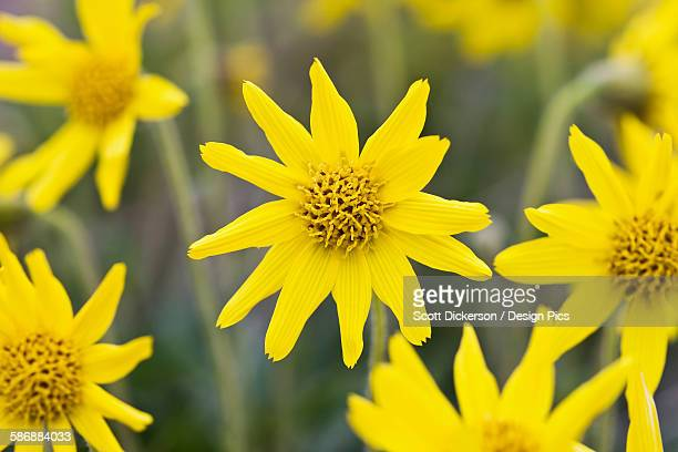Yellow tundra flower stock photos and pictures getty images yellow wildflowers growing on the tundra of bristol bay southwest alaska summer mightylinksfo