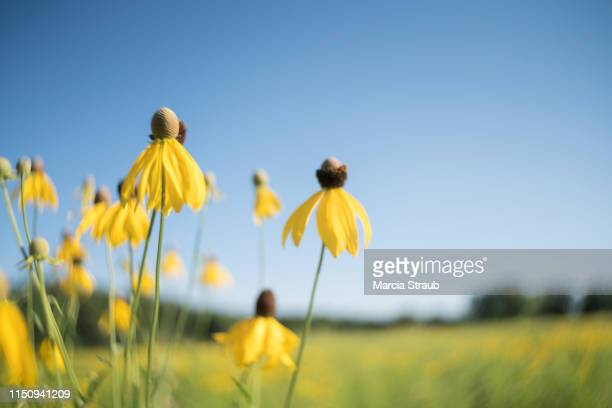 yellow wildflowers in a prairie meadow with selective focus - june stock pictures, royalty-free photos & images