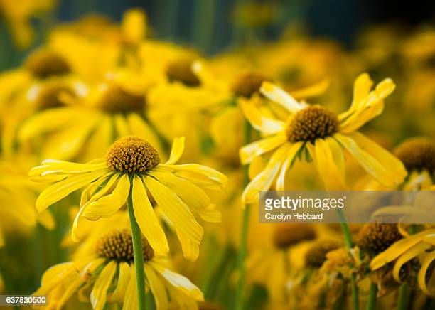 yellow wildflowers in field - mt lemmon stock photos and pictures