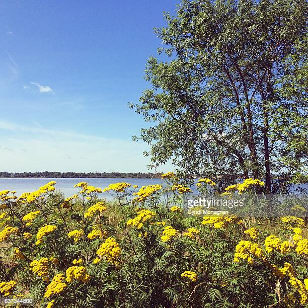 yellow wildflowers on a sunny day - tansy stock pictures, royalty-free photos & images