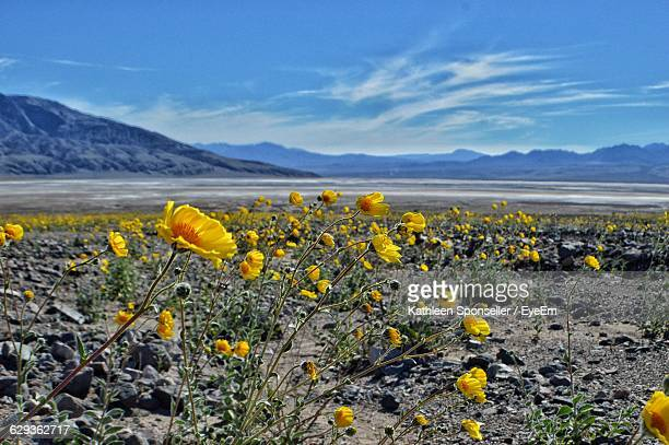 yellow wildflowers on field against sky at death valley national park - death valley national park stock pictures, royalty-free photos & images