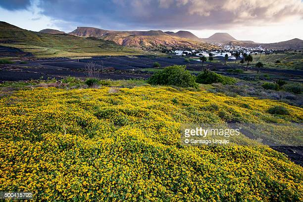 Yellow wildflowers with village of Haria on background
