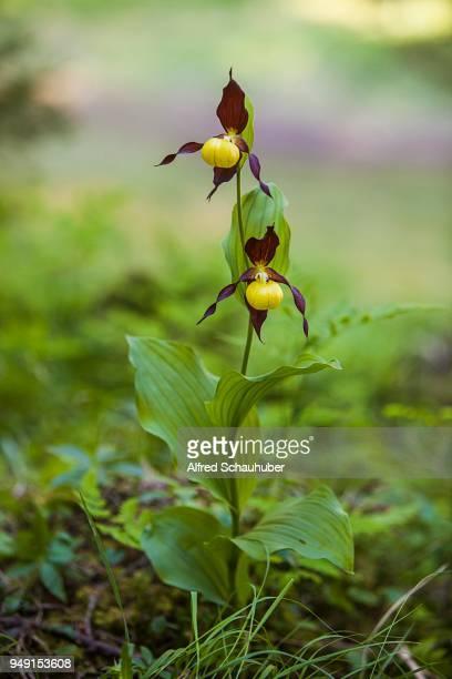 Yellow Yellow ladys slipper orchid or (Cypripedium calceolus), whole plant, Styria, Austria