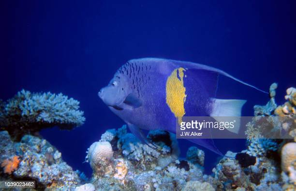 yellowbar or red sea angelfish (pomacanthus maculosus), red sea, egypt - vista lateral stock pictures, royalty-free photos & images