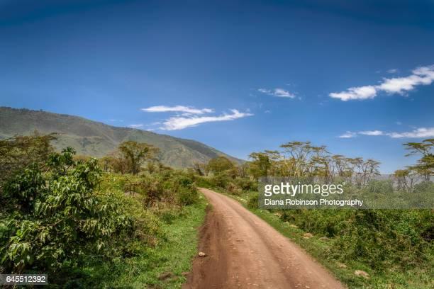 Yellow-bark acacia trees along the road down into the Ngorongoro Crater, Tanzania, East Africa