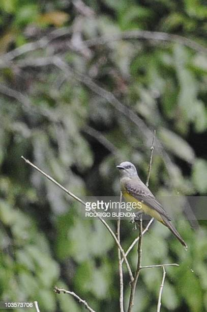A yellowbellied flycatcher perches on a twig in the Yasuni National Park in the Ecuadorean Amazon forest on August 21 2010 AFP PHOTO / RODRIGO BUENDIA