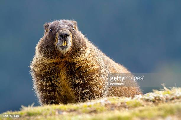 yellow-bellied marmot, marmota flaviventris - woodchuck stock pictures, royalty-free photos & images