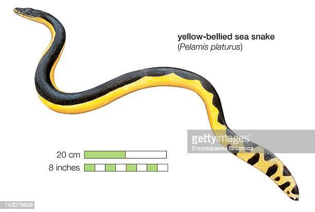 YellowBellied Sea Snake