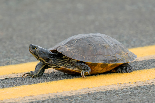 Yellow-bellied Slider Turtle crossing the road 1144630040
