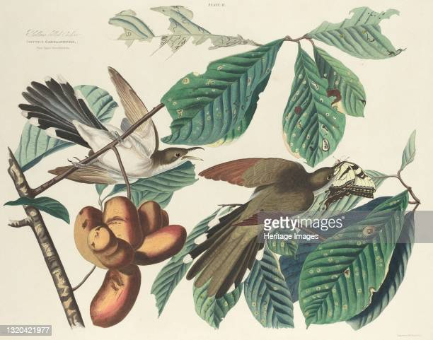 Yellow-billed Cuckoo, 1827. [Coccyzus Carolinensis. Plant Popaw Porreliatriloba]. Artist William Home Lizars.