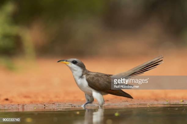 Yellow Billed Cuckoo Coccyzus Americanus Adult At Pond Drinking Rio Grande