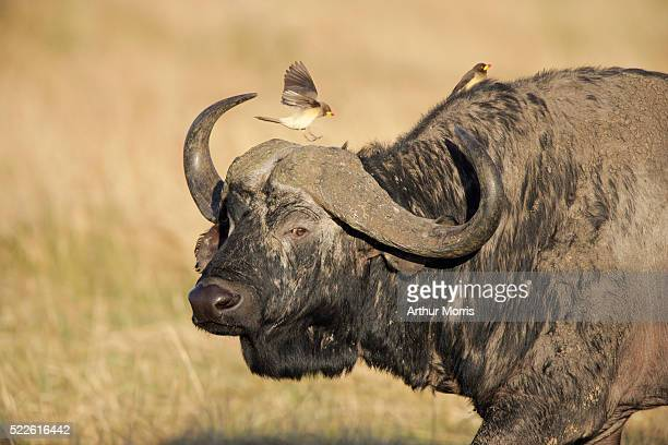 Yellow-billed Oxpeckers on Wildebeest