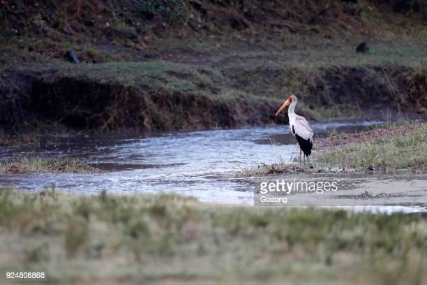 A Yellowbilled stork is fishing in small waterhole Masai Mara game reserve Kenya