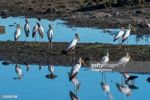 Yellowbilled storks along a river in the Jao concession Wildlife Okavango Delta in Botswana