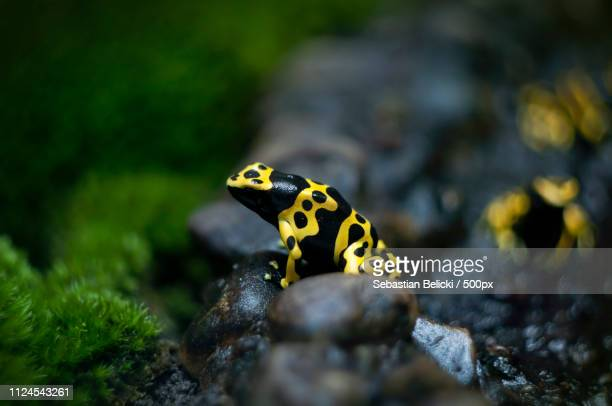 yellow-black frog - nautre stock pictures, royalty-free photos & images