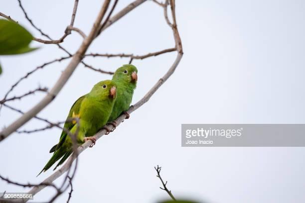yellow-chevroned parakeet (brotogeris chiriri), cerrado region, brazil - cerrado stock pictures, royalty-free photos & images