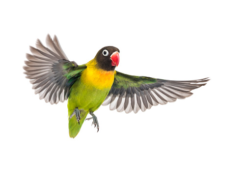 Yellow-collared lovebird flying, isolated on white 823748728