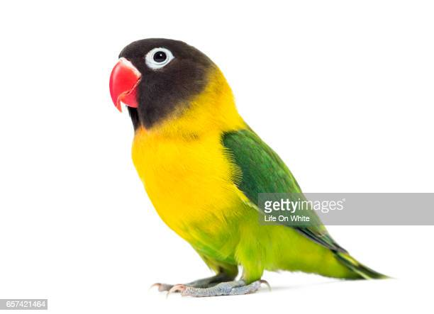 Yellow-collared lovebird, isolated on white