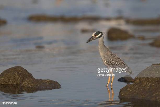 yellow-crowned night heron - alma danison imagens e fotografias de stock