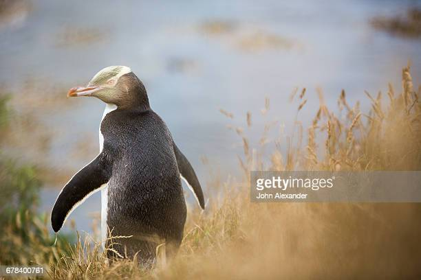 Yellow-eyed penguin (Megadyptes antipodes), Moeraki, South Island, New Zealand, Pacific