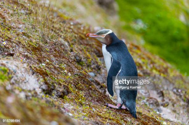 Yelloweyed penguin on a slope on Enderby Island a subAntarctic Island in the Auckland Island group New Zealand