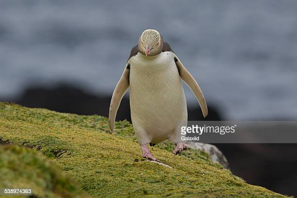 yellow-eyed penguin (megadyptes antipodes) - sub antarctic islands stock photos and pictures