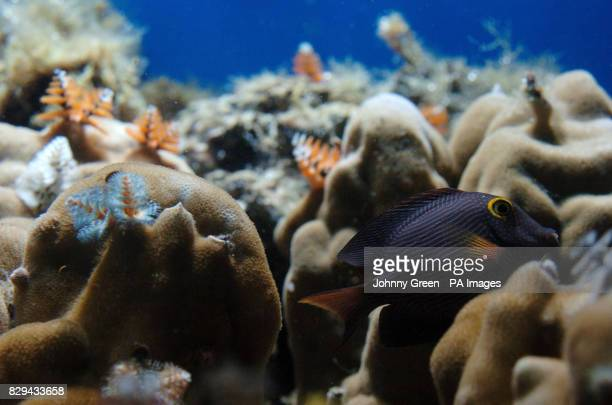 A YellowEyed Tang swims towards some Christmas Tree Worms