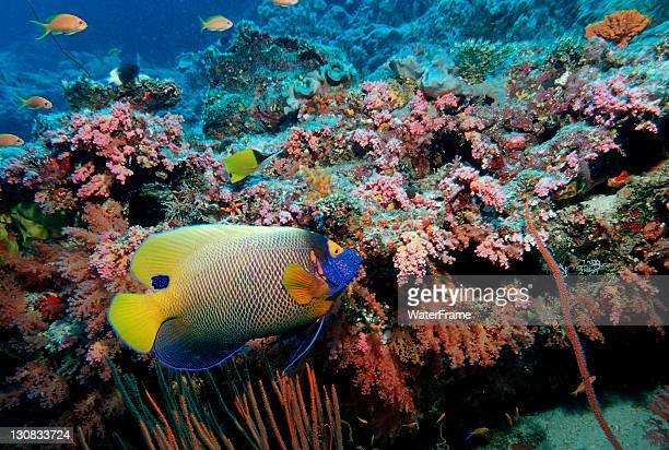 Yellowface angelfish (Pomacanthus xanthometopon), Maldives Island, Indian Ocean