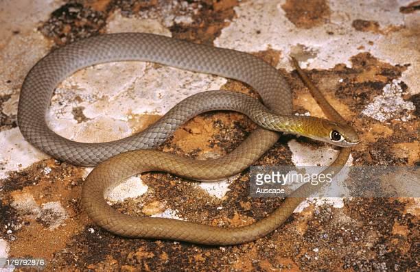 Yellowfaced whip snake Demansia psammophis psammophis about a meter long Rawlinna Western Australia