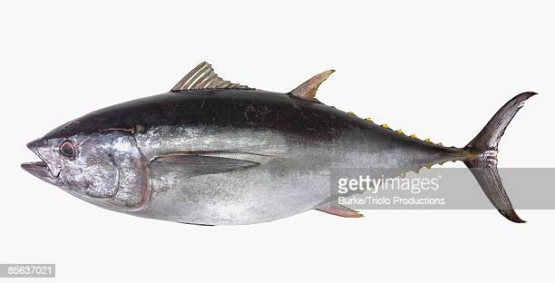 Yellowfin tuna on white
