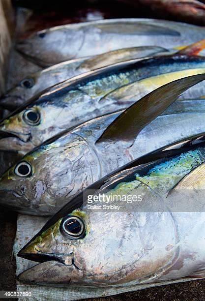 yellow-fin tuna - yellowfin tuna stock photos and pictures